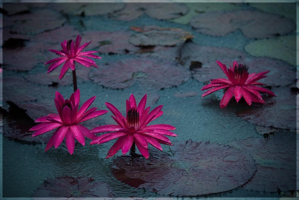 비오는날 관곡지('10.08.29)