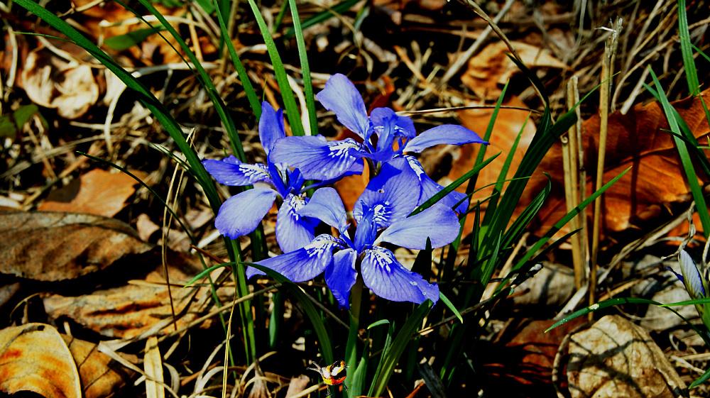 봄에 만나는 예쁜 자주색 각시붓꽃