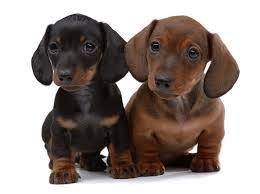 Sausage Dog Puppy For Sale Wa