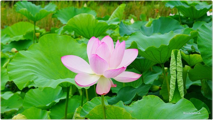 아름다운 연꽃사진