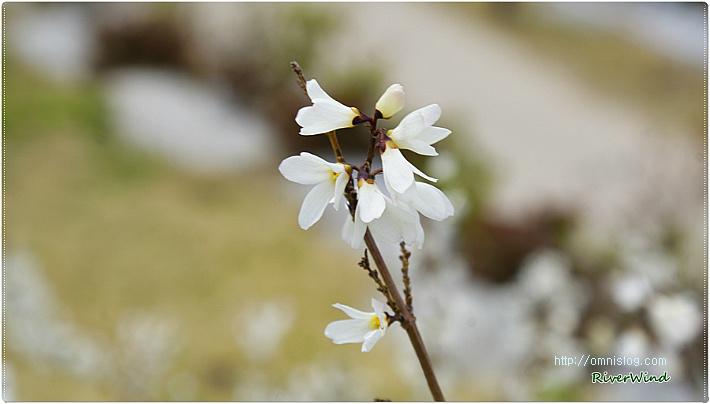봄꽃사랑-미선나무(尾扇木) 꽃