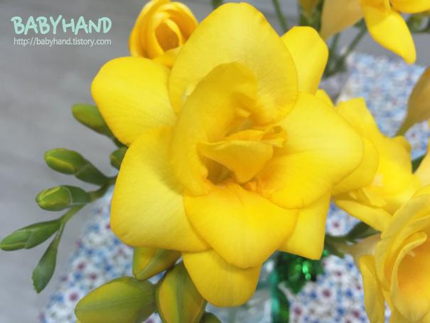 프리지아 꽃