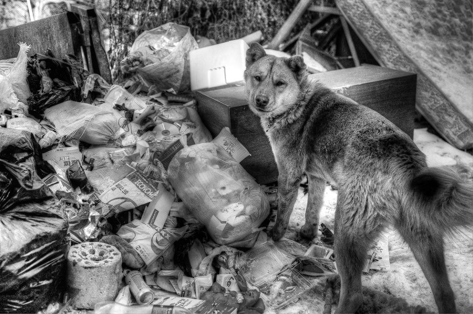 누렁이가 쓰레기 더미를 뒤지다가 나를 발견하고는 쳐다보는 사진.