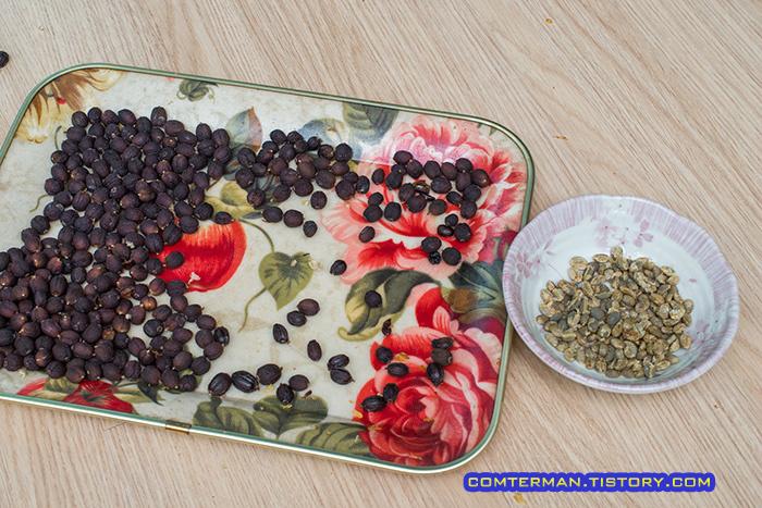 베란다 커피나무 수확 파치먼트 제거