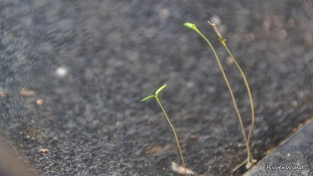 내 차안에서 싹을 튀운 잡초