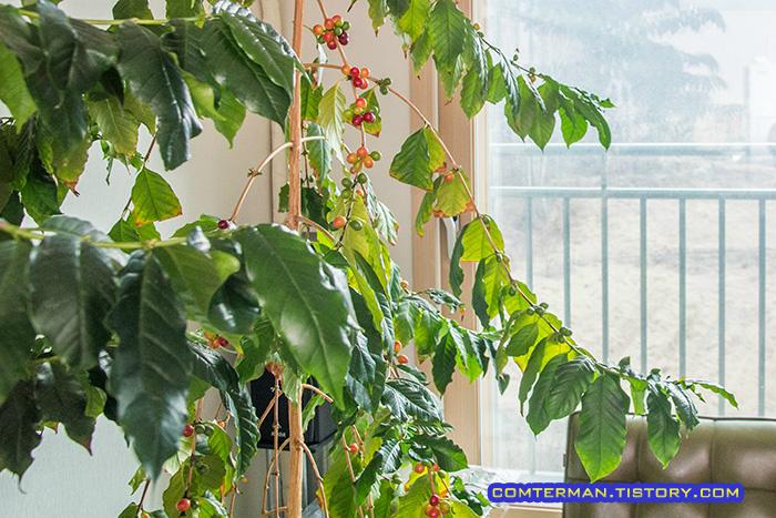 커피열매 커피나무