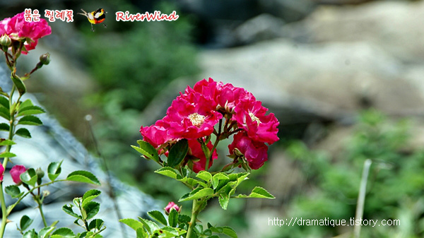 붉은 찔레꽃 Red Rosa multiflora