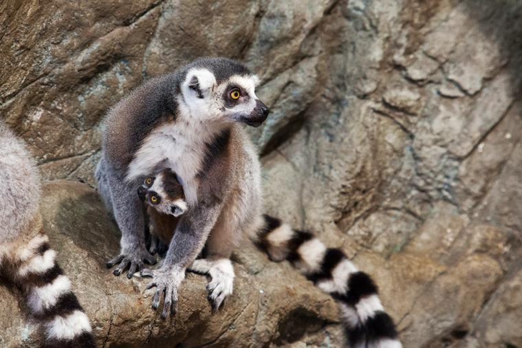 알락꼬리여우원숭이 아기원숭이 다람쥐원숭이 아쿠아플라넷일산 더정글 동물원데이트 봄나들이 아쿠아리움데이트