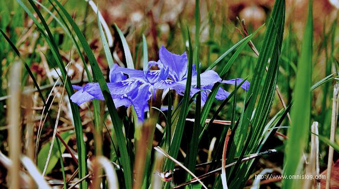 자주색 각시붓꽃