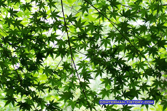 초록 단풍잎 옥화자연휴양림 캠핑장 리뷰 Camping