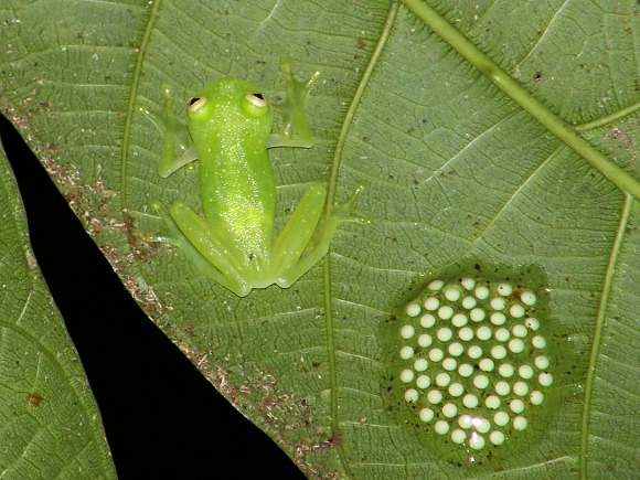 Glass frog Centrolenidae