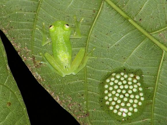 Glass frog Centrolenidae