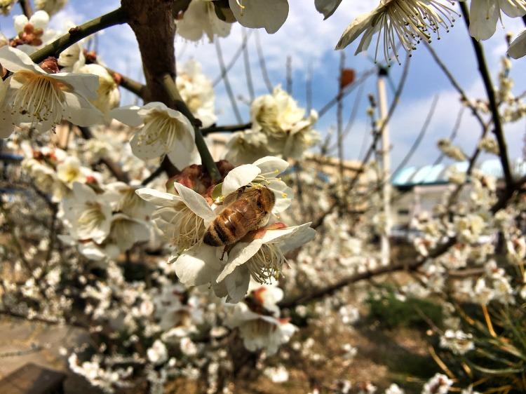 매화를 찾아온 꿀벌