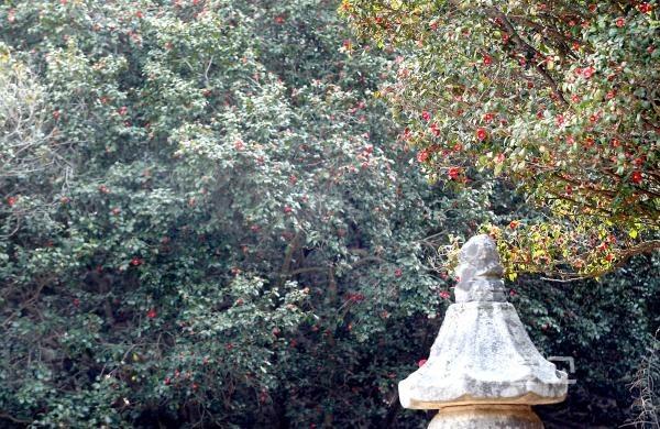 강진 백련사 동백꽃