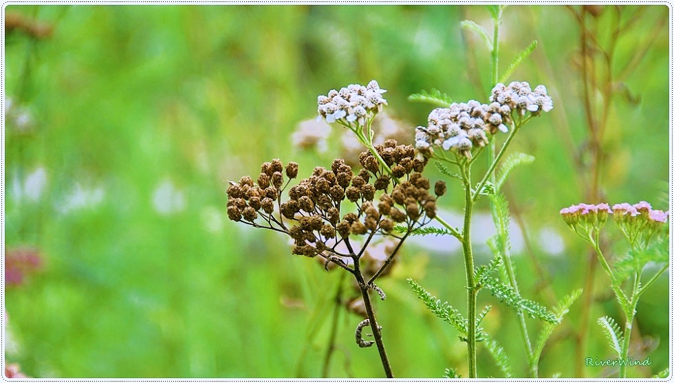 서양톱풀 톱풀파스텔 Achillea millefolium L.