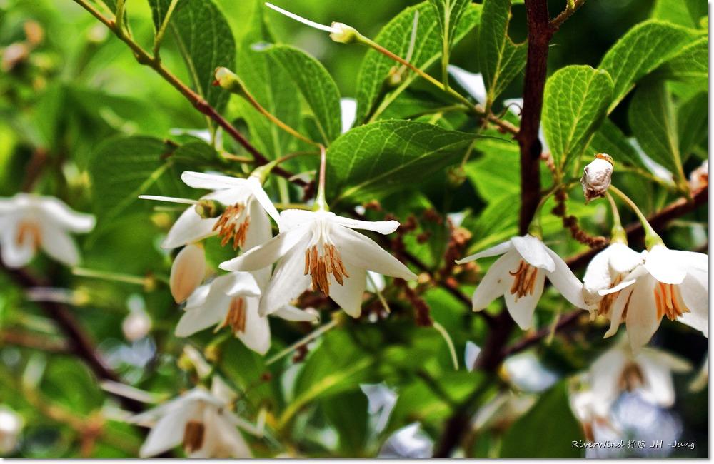 때죽나무 꽃