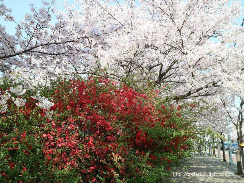 아름다운 벚꽃길