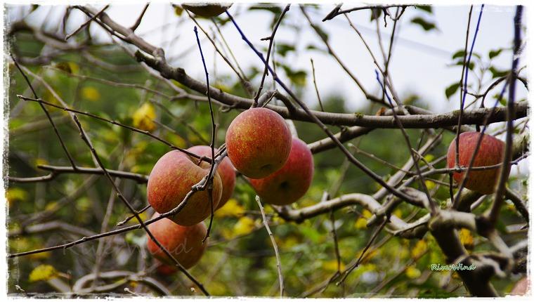 배내골 사과