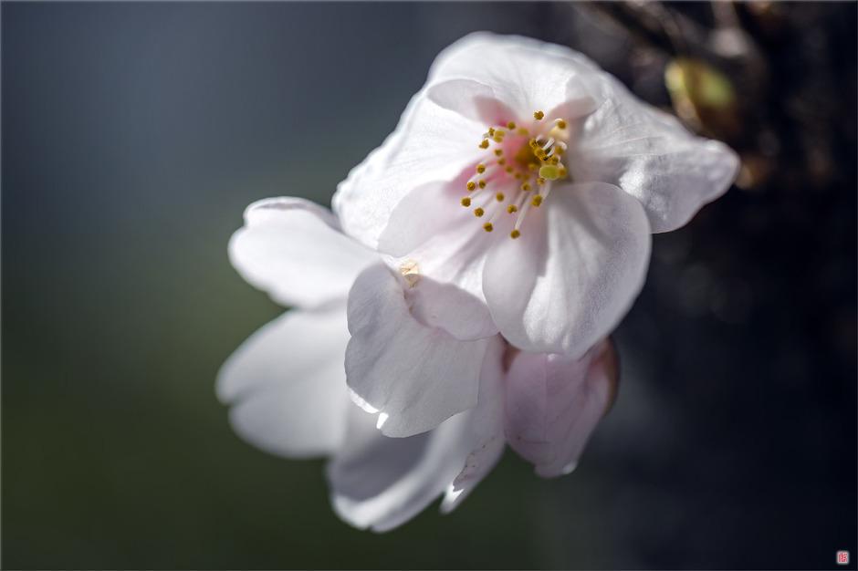 [삼성NX500] 봄 이야기