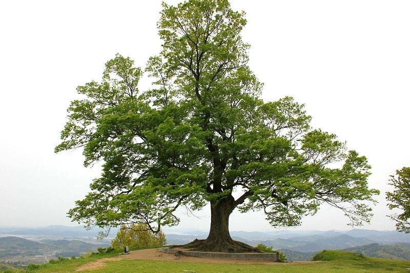 사랑나무 사진