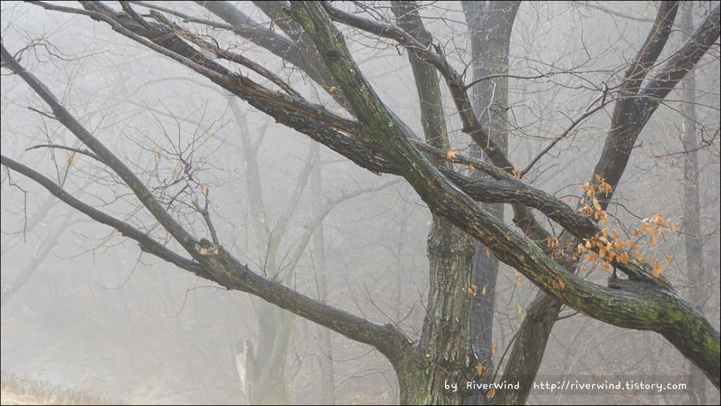 겨울 비오는날의 나목(裸木).